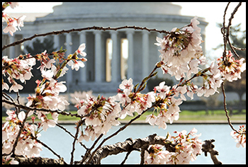 Photo of cherry blossoms in Washington, DC